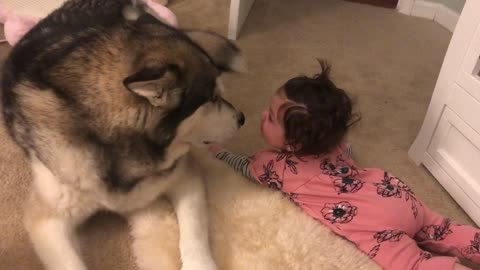 Howling Malamute calms down crying baby
