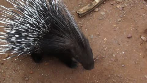 Baby Porcupines May Not Be Cuddly, But They Sure Are Cute!