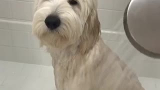 White dog frowns while getting shower in white tub - Video