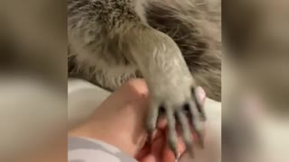 raccoon is scared