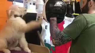 Puppy on his way to becoming boxing champ - Video