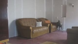 German Shepherd And Adorable Buddy Play EPIC Hide And Seek Game