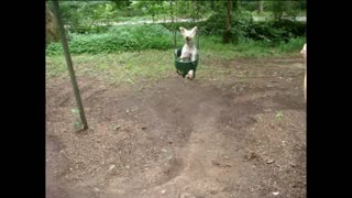 Small Dog Loves Riding Swing At Playground - Video