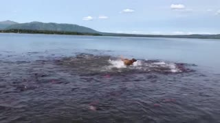 Dog Swims with Salmon School