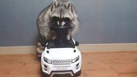 Raccoon is satisfied with his new car.