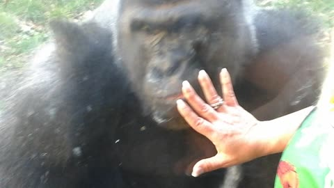 Crazy Silverback Taps Window with His Teeth to Get to Me Then Jumps On Top!!