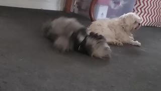 Black fluffy dog keeps rolling back and forth on the floor