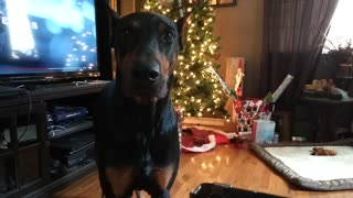 Sharing Leftovers With My Obedient Doberman - Video