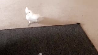 Cockatoo plays with overly excited puppy - Video