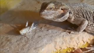 Reptile Attack - Video