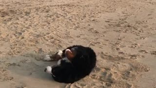 Bernese Mountain Dog rolls around in the sand