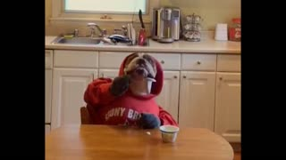 Bulldog with human hands eats yogurt - Video