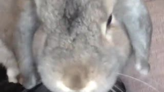 Collab copyright protection - grey bunny jumps in owners lap - Video