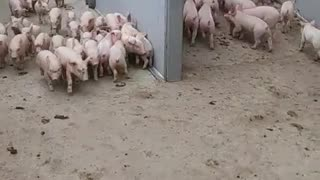 Cute piglets walking