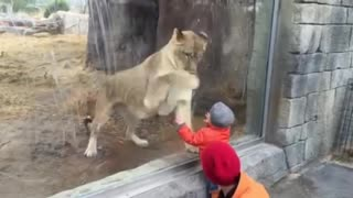 Lioness in Zoo Interacts with Kid - Video