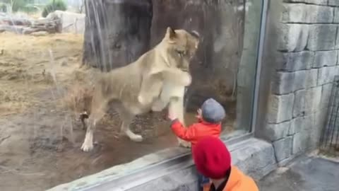 Lioness in Zoo Interacts with Kid