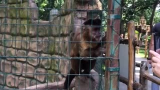 Monkey Cell Phone Thief - Video