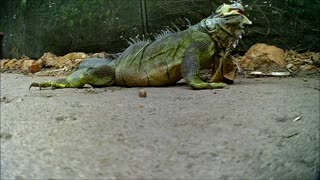 Iguana having a snack  - Video