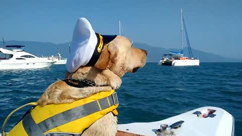 Golden Retriever wants to be captain of the boat