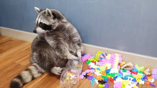 Raccoon tries to open the lid of the cola bottle.