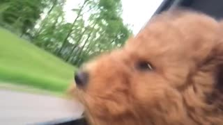 Puppy's first car ride results in adorably cute scenario