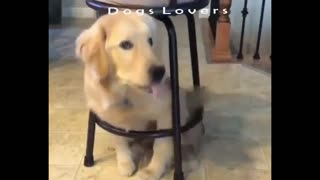 A Dog Sits Under The Chair Very quickly.