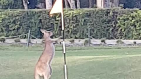 Kangaroo Interrupts Game of Golf
