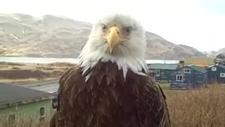 Mrs  Eagle  Close Up - Video