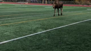 Moose Shows Off Soccer Skills
