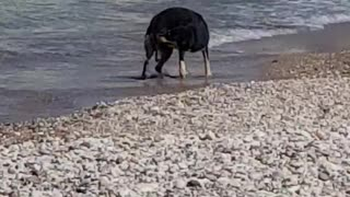 Dog on beach won't stop chasing its tail