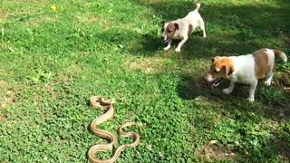 two dogs are barking at really beautiful snake