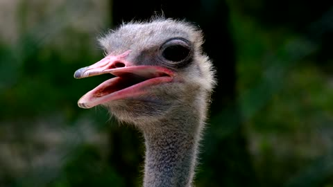 Ostrich smells from excessive drinking