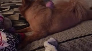 Brown dog on couch keeps throwing socks - Video