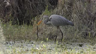 Great Blue Heron eating a snake