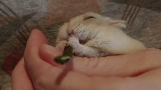 Tiny hamsters falls asleep while eating a treat