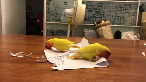 Love Bird Parrots Make Their Own Feathers Out of Paper