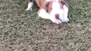 White and brown dog lays on freshly cut grass - Video
