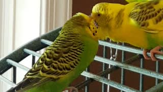 Parakeets finally find true love - Video