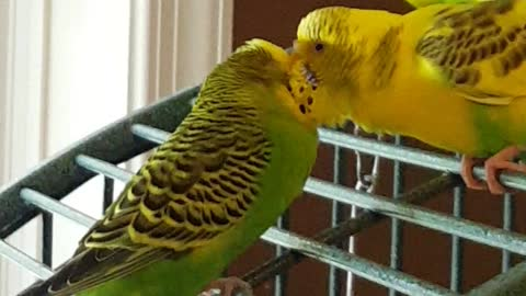 Parakeets finally find true love