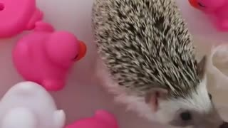 hedgehog plays with ducks toys in water