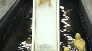 Ducklings Send It Down the Slide