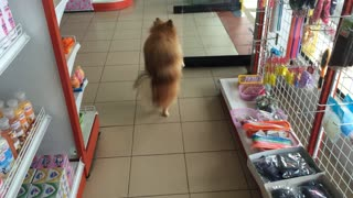 Dog Walking Upright in Thailand - Video