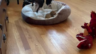 Boston Terrier is Not a Fan of Sharing Her Bed