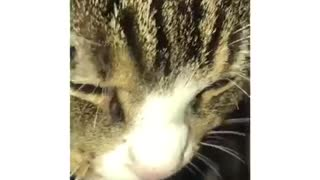 Grumpy cat growls while drinking water
