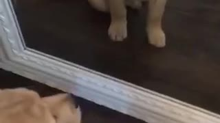 Golden retriever puppy sitting in front of mirror staring at itself - Video