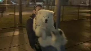 Swinging Samoyed Takes a Tumble