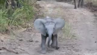 Fearless elephant calf adorably charges safari truck
