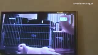 Cat is obsessed with tv - Video