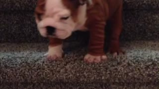 English Bulldog puppy conquers the stairs - Video