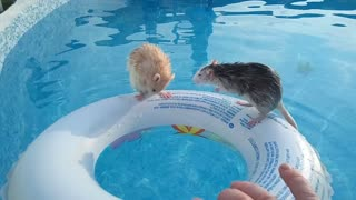 These Two Rats Really Are Expert Swimmers
